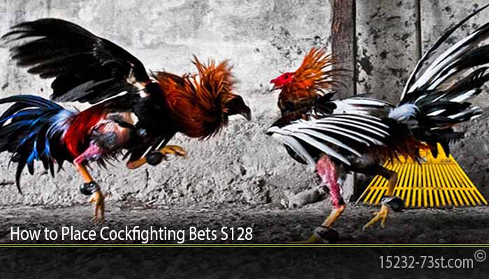 How to Place Cockfighting Bets S128